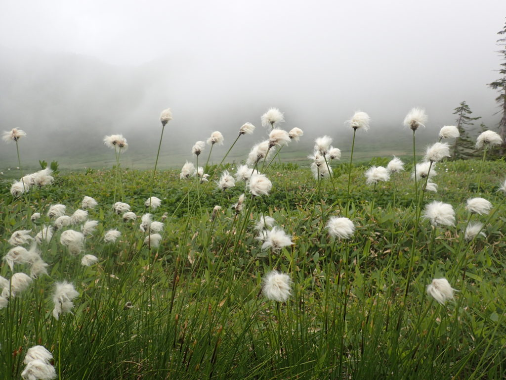 妙高山登山道(黒沢池付近)に咲くワタスゲ