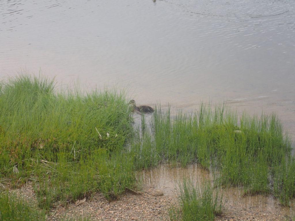 草津白根山の弓池を泳ぐカモ