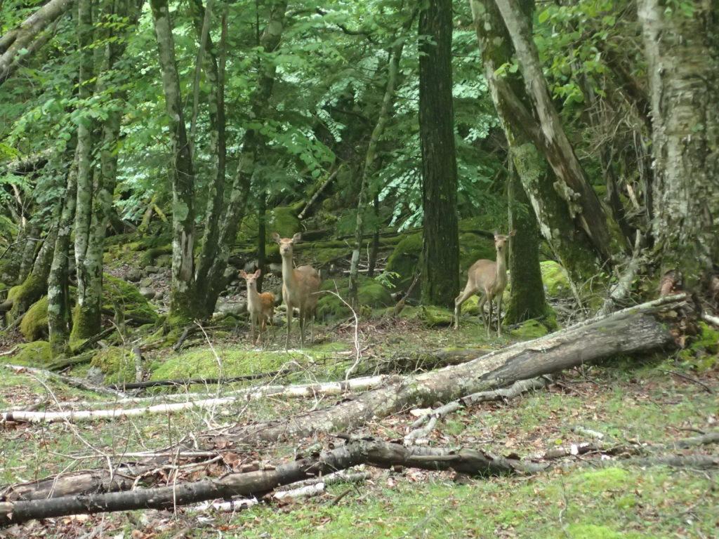 甲武信ヶ岳の千曲川源流ルートにいた鹿