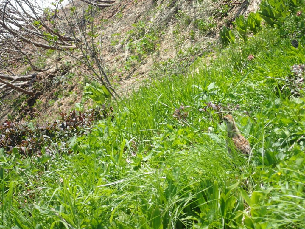 火打山登山道のすぐ脇にいた雷鳥の子供