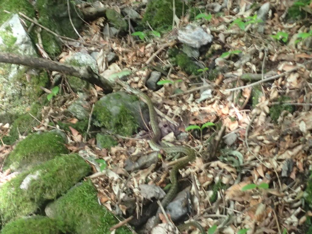 両神山日向大谷口ルート登山道の蛇