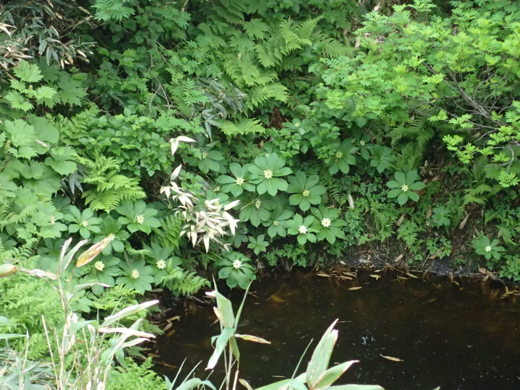 八幡平の不思議な凹地に咲くキヌガサソウ