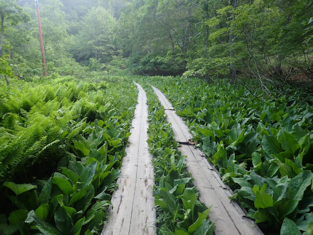 鳩待峠から尾瀬山の鼻に向かう木道