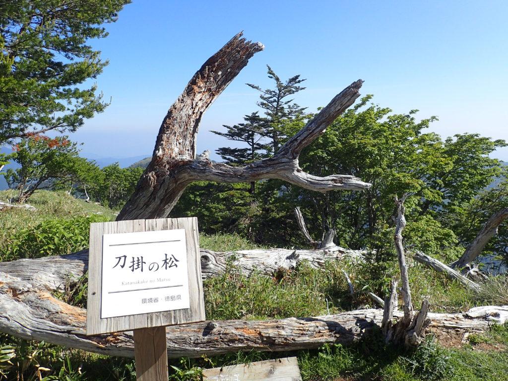 剣山の刀掛の松