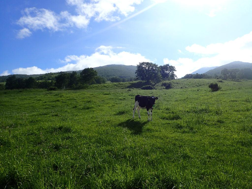 菅平牧場の牛