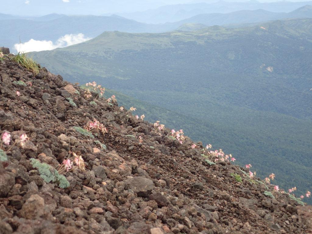 岩手山のコマクサの群生