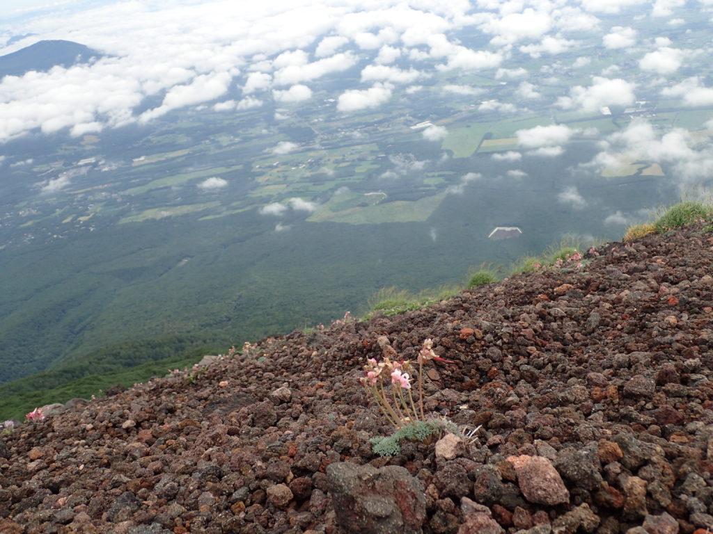 岩手山に咲くコマクサ