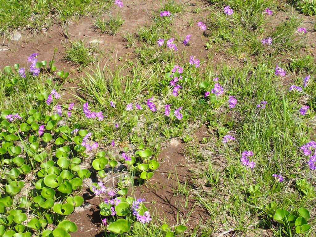 天狗の庭に咲くハクサンコザクラ