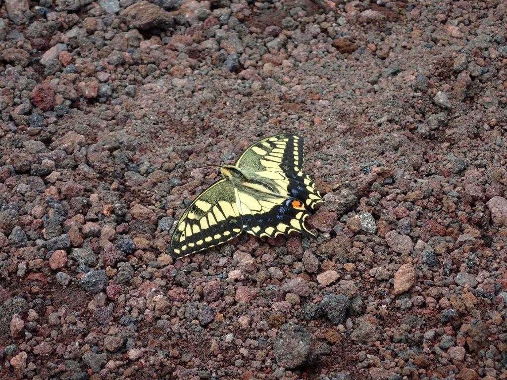 岩手山のチョウ