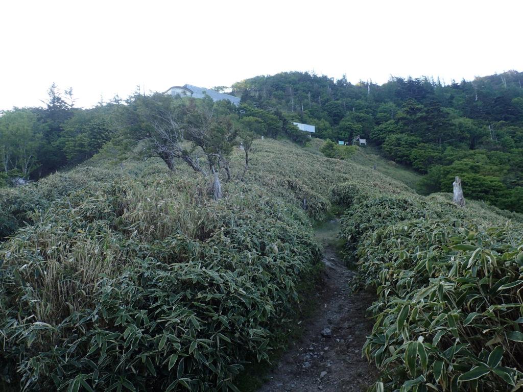 剣山のミヤマクマザサ