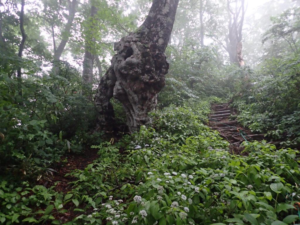荒島岳のトトロの木