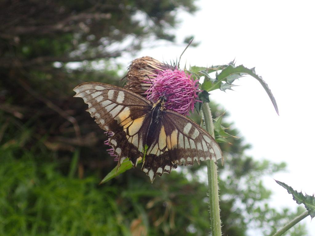 三本槍岳付近の蝶