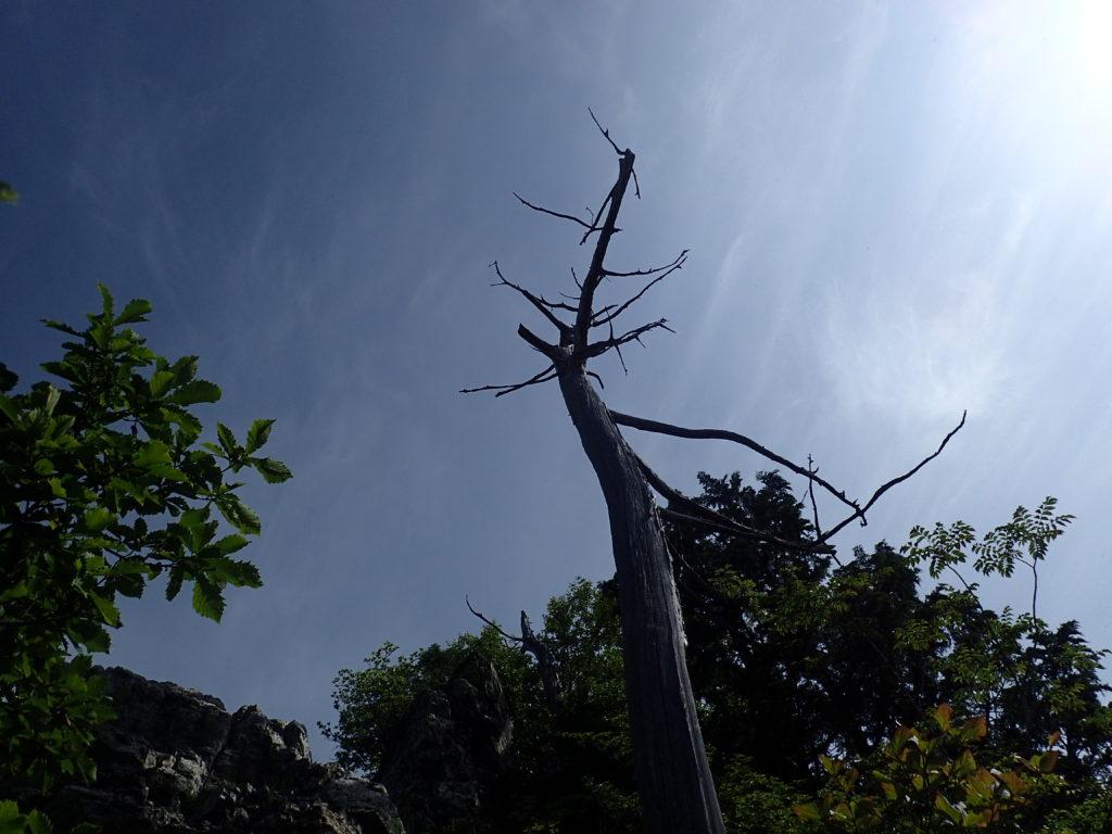 両神山山頂の木