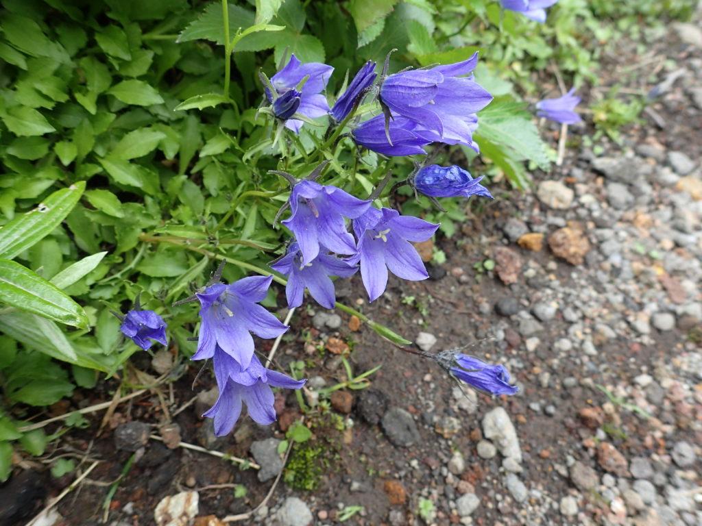 岩手山に咲くイワギキョウ