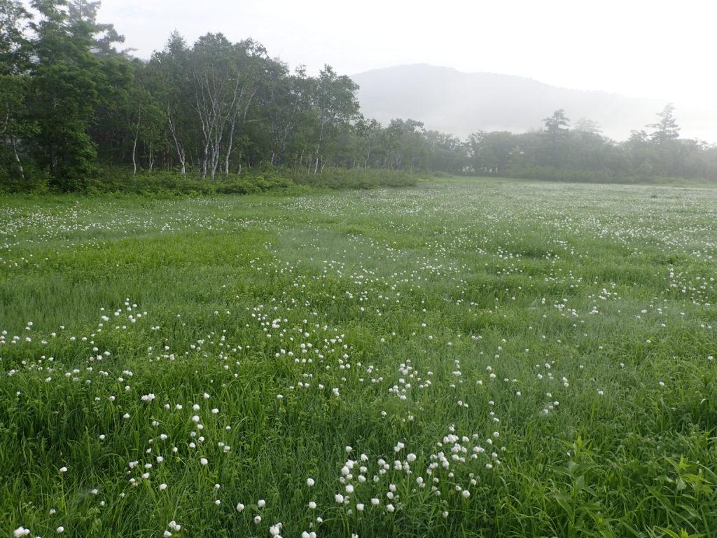 尾瀬に咲くワタスゲ