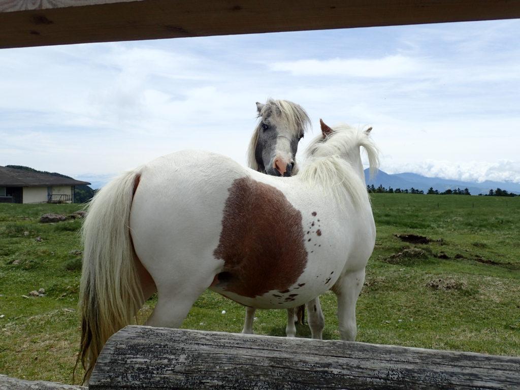 美ヶ原高原の牧草地のポニー
