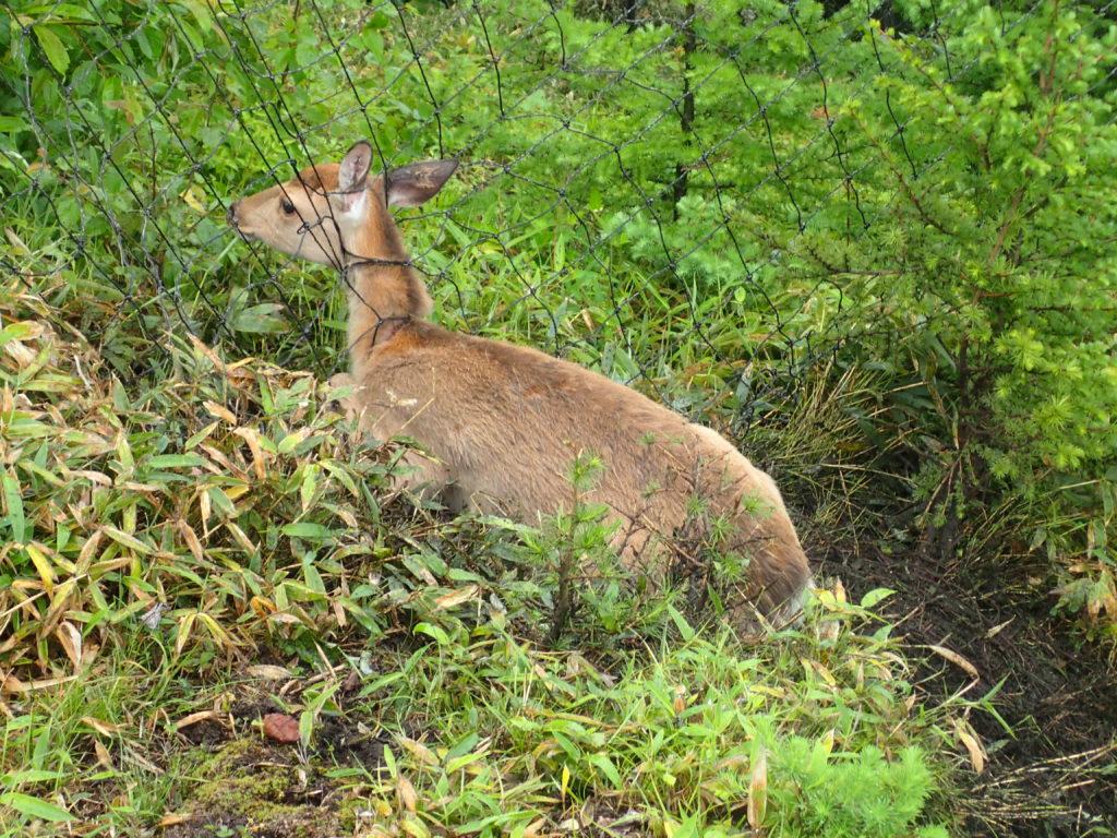 雲取山で網に引っ掛かってしまった鹿