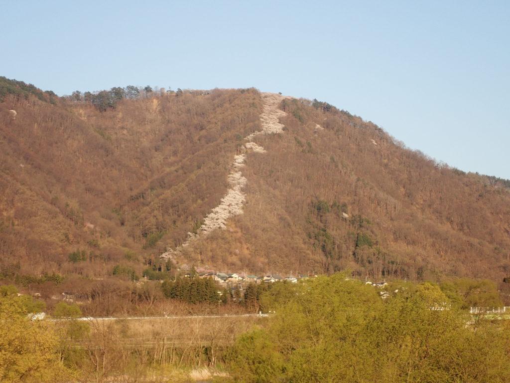 登山口から山頂まで桜が続く光城山の登り竜。