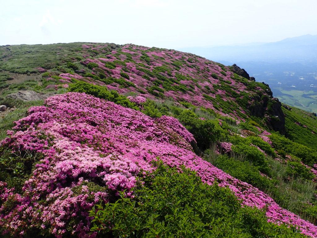 九重山(久住山)のミヤマキリシマの群生
