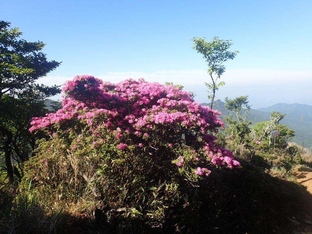 祖母山の山頂のミヤマキリシマ