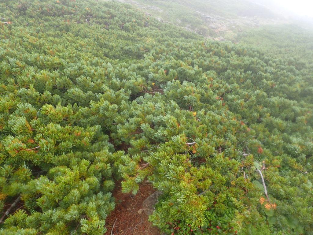 木曽駒ヶ岳の桂小場ルートのハイマツ帯