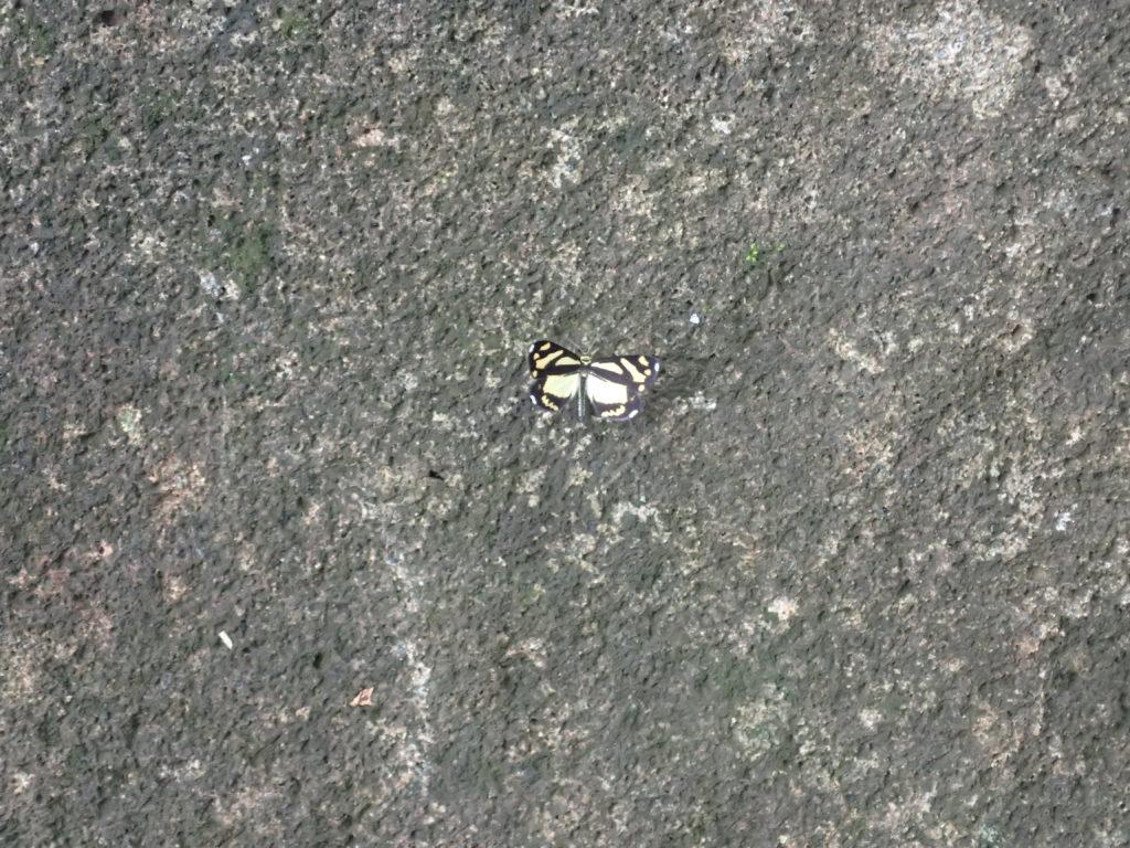 巻機山登山道の蝶