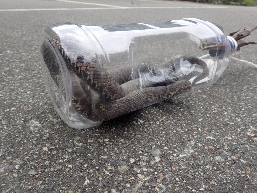 巻機山駐車場で捕獲されたマムシ