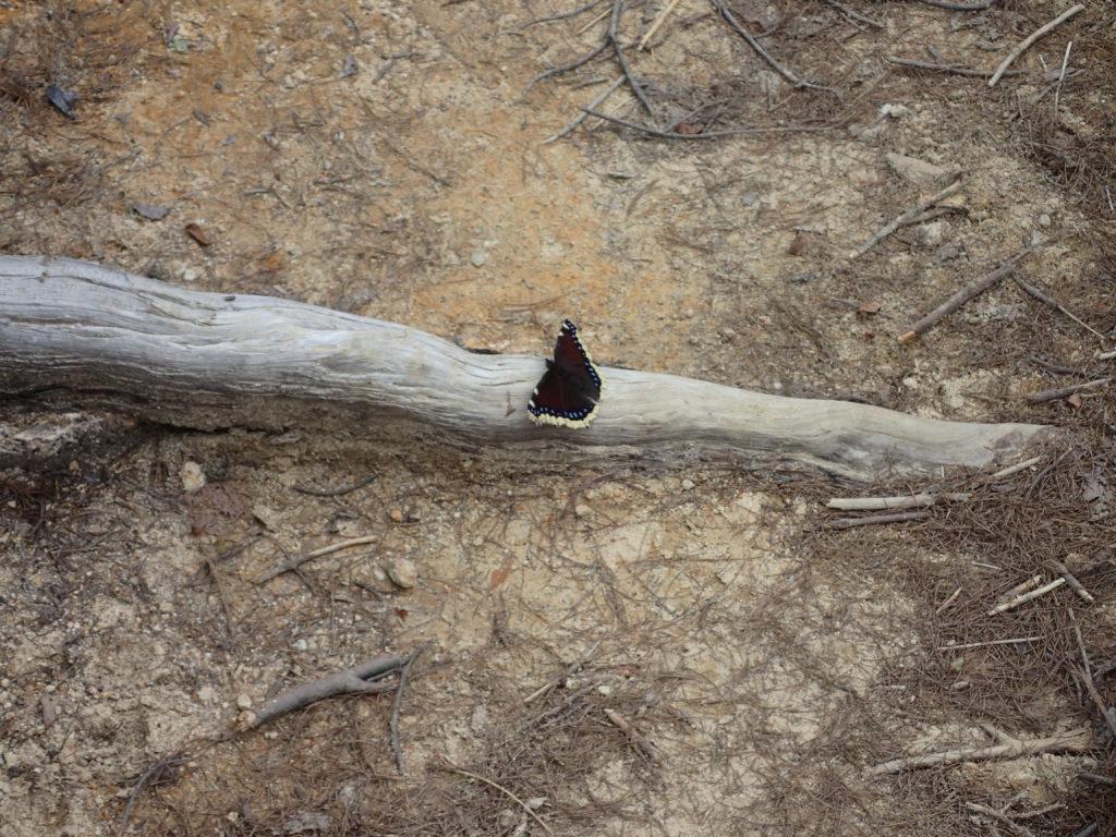 平ヶ岳の鷹ノ巣ルートの蝶