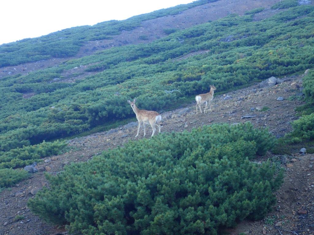雌阿寒岳登山道の鹿