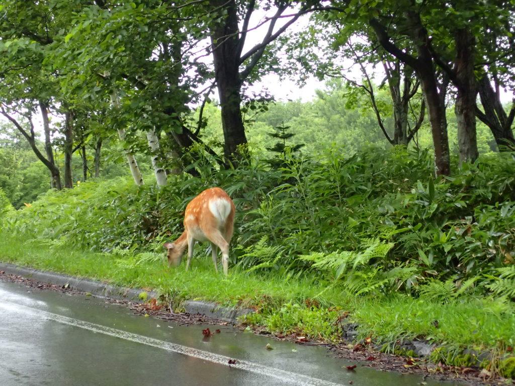 知床半島の鹿