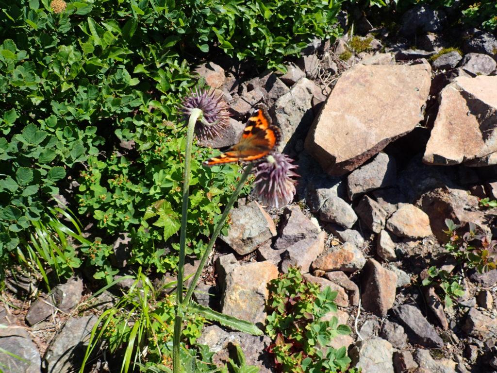 斜里岳登山道の蝶