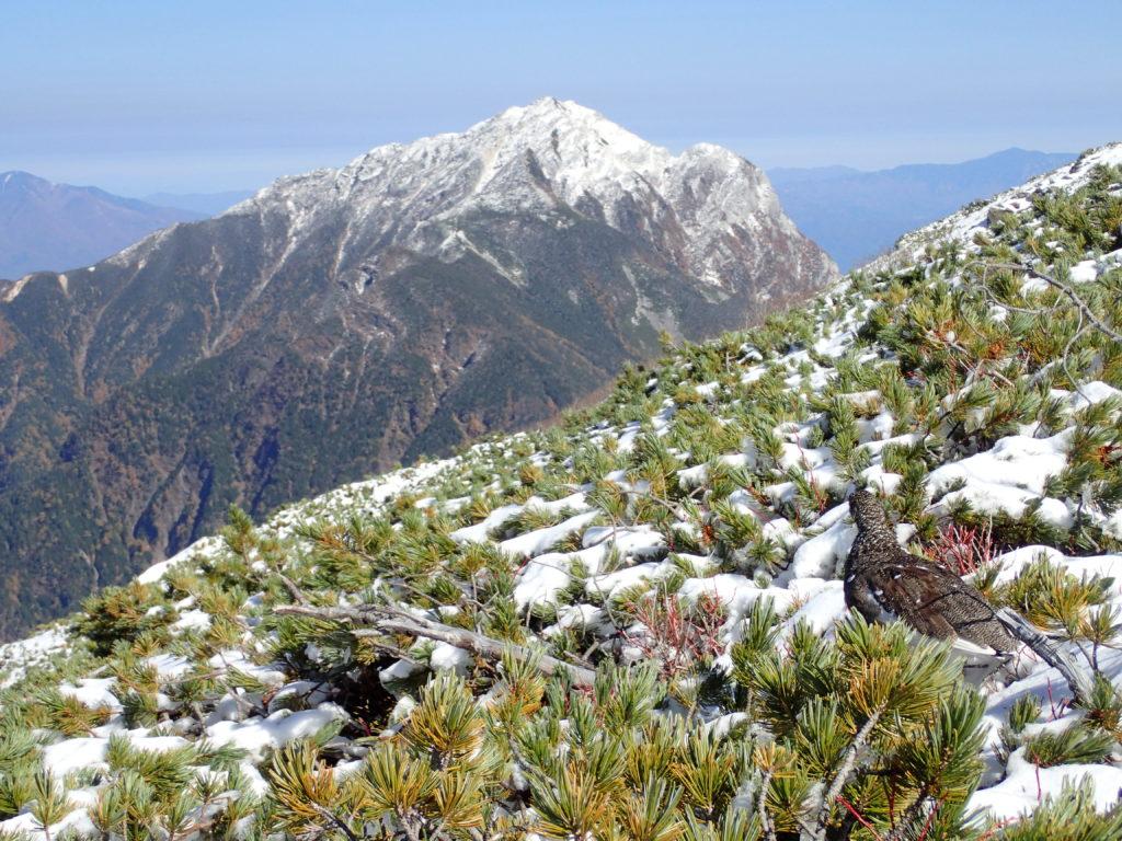 仙丈ヶ岳稜線の雷鳥と甲斐駒ヶ岳