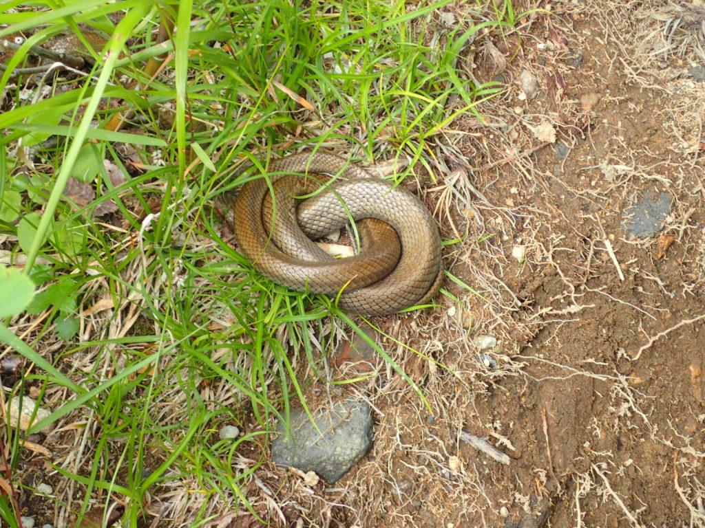 旭岳登山道にいた蛇