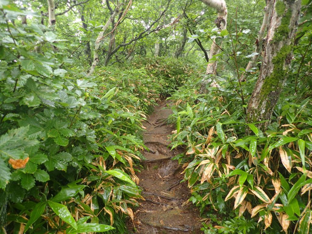 羅臼岳の岩尾別ルート登山道