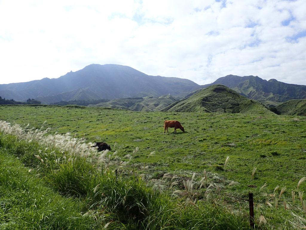 仙酔峡道路脇の牛と阿蘇山