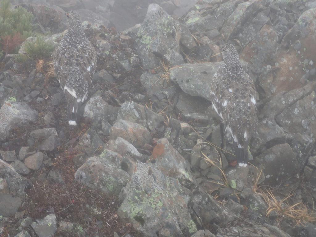赤石岳の山頂で遭遇した雷鳥