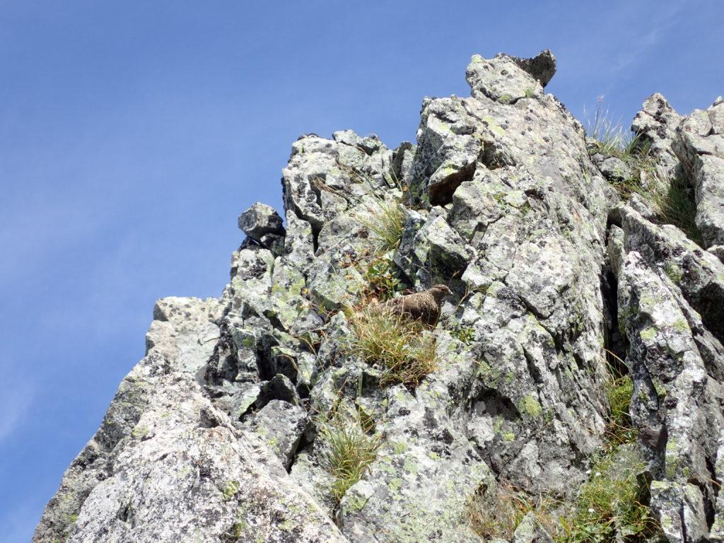 剱岳の早月尾根登山で遭遇した雷鳥