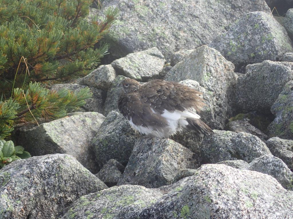立山の雄山付近で遭遇した雷鳥