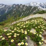 花盛りだった鹿島槍ヶ岳・爺ヶ岳の高山植物(2018年6月23日)