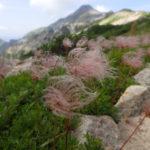 笠ヶ岳登山の高山植物アルバム2018