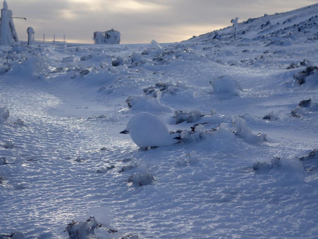 厳冬期の乗鞍岳で会うことができた氷に覆われたハイマツをついばむ雷鳥