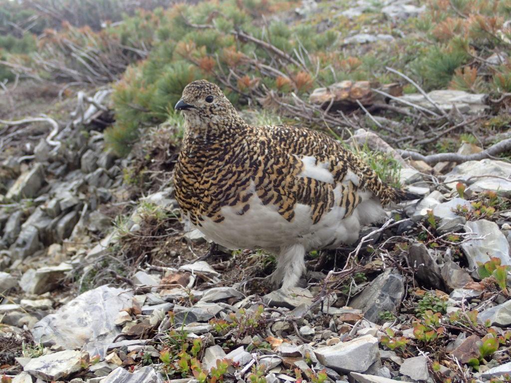 爺ヶ岳登山で遭遇したメスの雷鳥