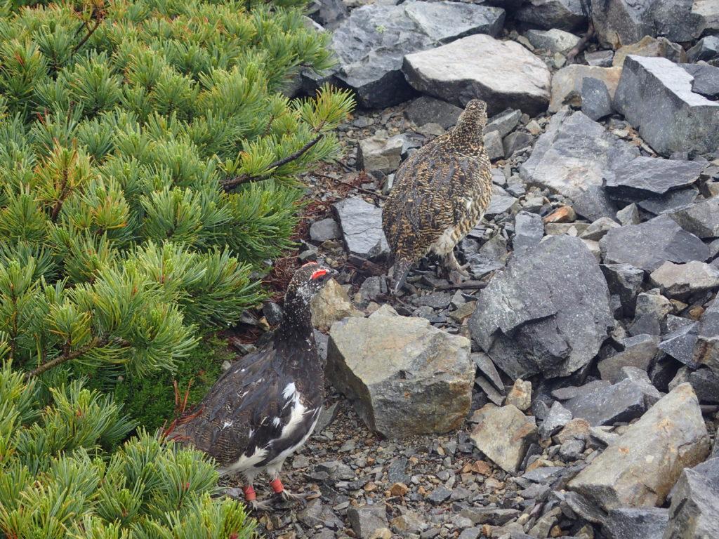爺ヶ岳登山で会うことができた雷鳥