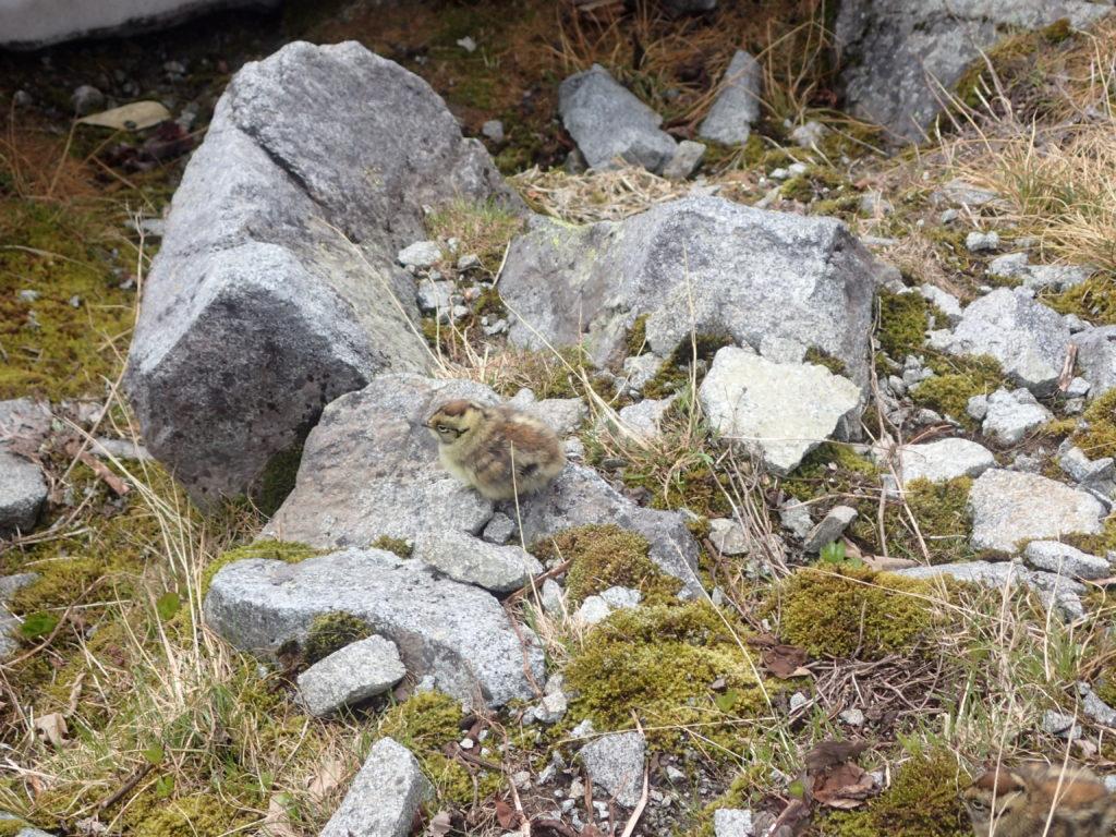 槍ヶ岳登山で遭遇した雷鳥のヒナ