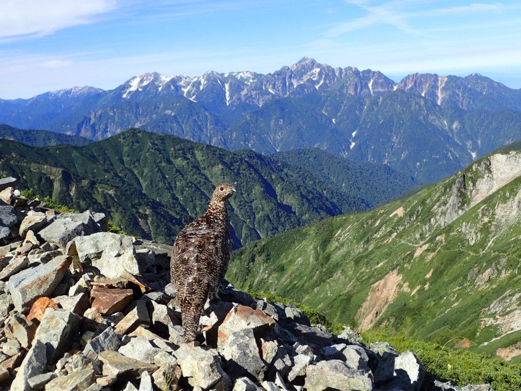唐松岳登山で会うことができた雷鳥