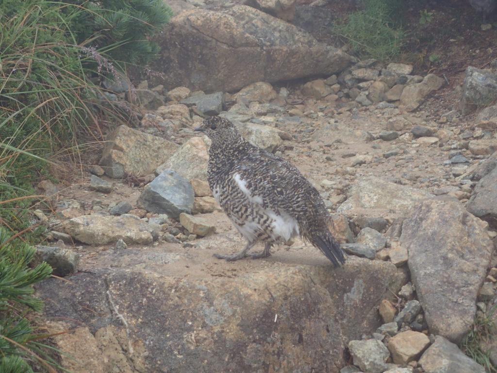 双六岳と三俣蓮華岳の間の登山道で会うことができた雷鳥