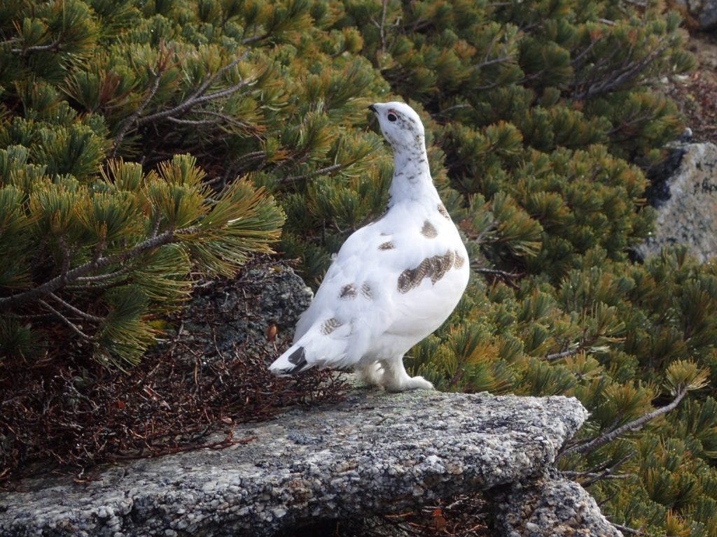 北アルプス表銀座(燕山荘と大天井岳の間)で出会うことができた白い雪の羽毛へとほぼ衣替えが終わっている雷鳥
