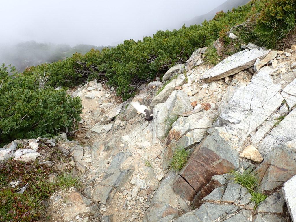 剱岳の早月尾根登山で会うことができた雷鳥