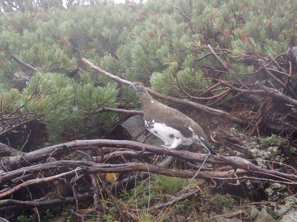 雨と霧の前穂高岳に続く重太郎新道で会うことができた雷鳥