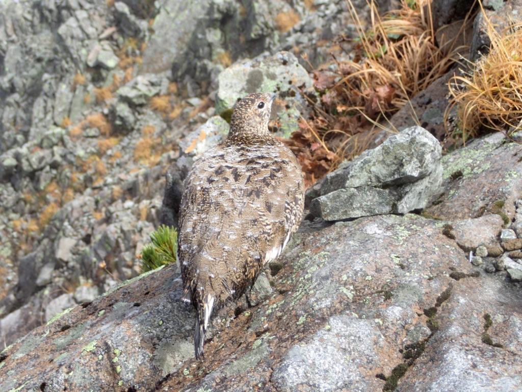 霧の穂高岳山荘付近で会うことができた雷鳥親子